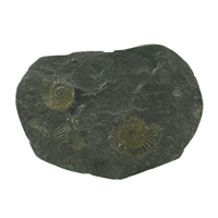 Ammonite (Dactylioceras) in shale from Holzmaden (Germany), appr. 10cm